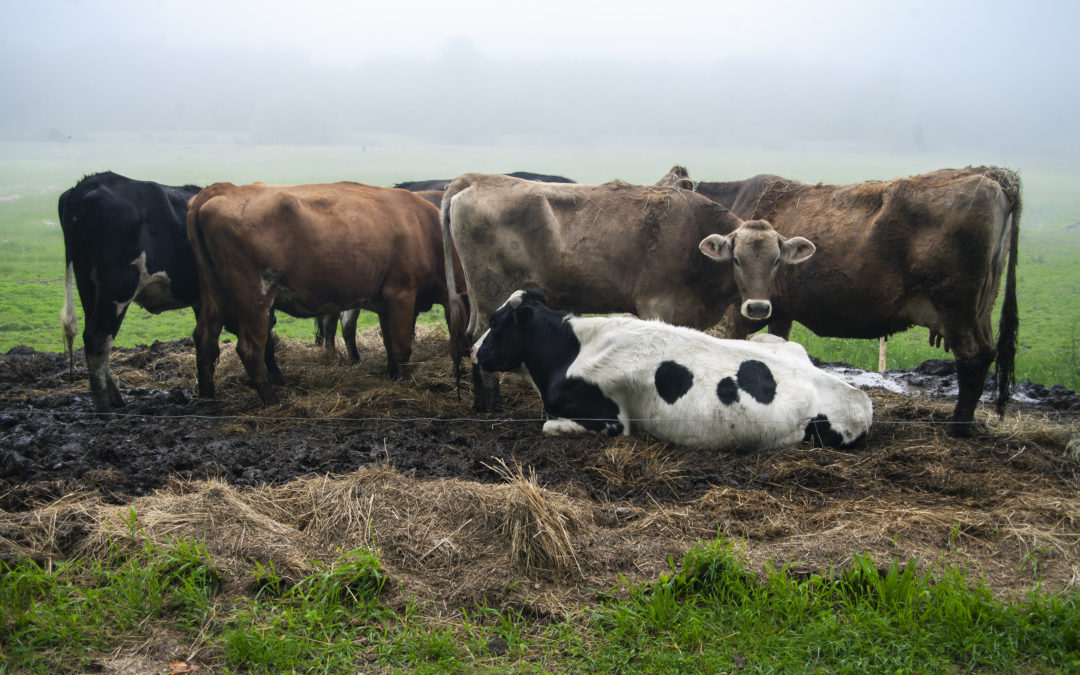 Whately cows